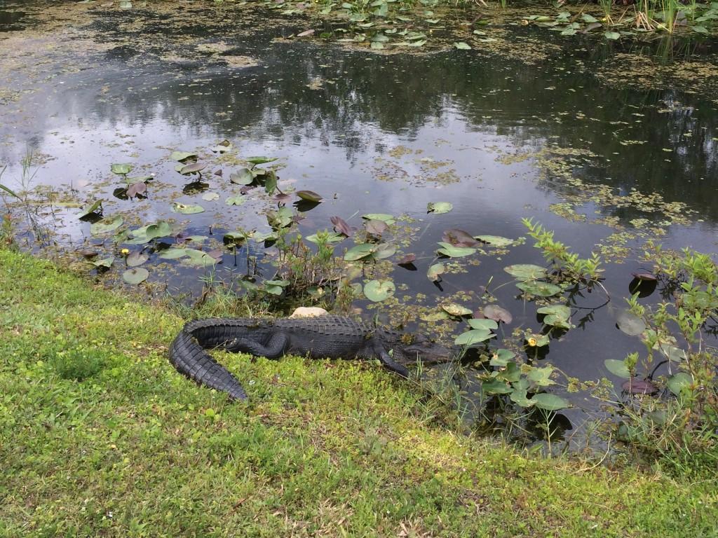 Alligator dans les Everglades. Photo CB.