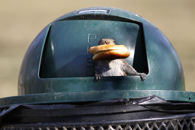 A squirrel found an entire fast food meal in a trash can in Woodland Park in Lexington, Kentucky, Thursday, February 17, 2011. The squirrel climbed inside the can and came out with the remains of a fish sandwich. (Charles Bertram/Lexington Herald-Leader/MCT)